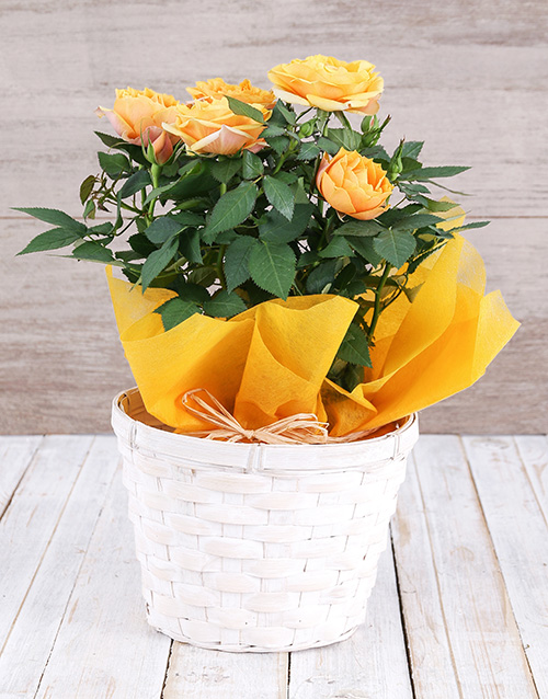 prices: Yellow Rose Bush in Planter!