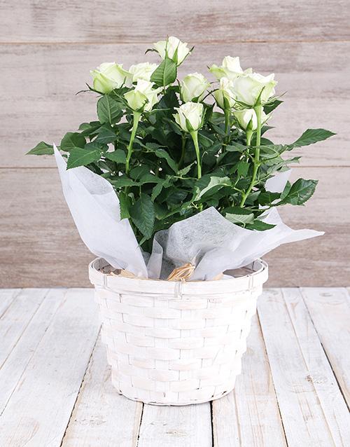 basket: White Rose Bush in Planter!