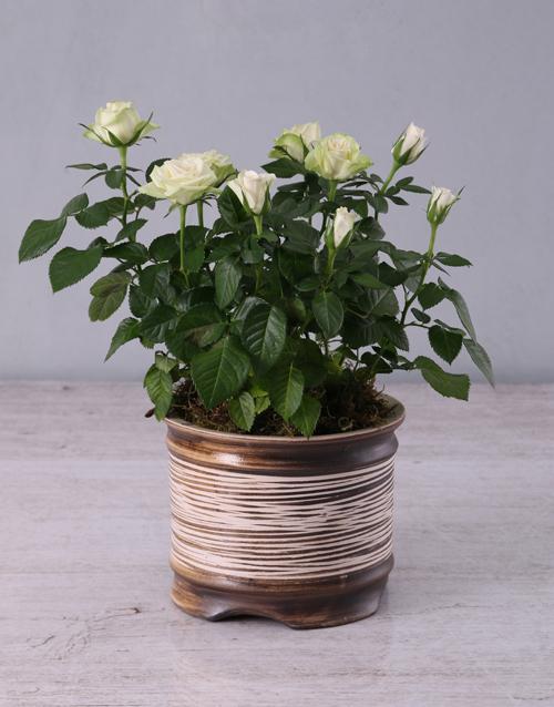 passover: White Rose Bush in Ceramic Pot!