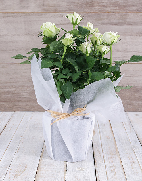 baby: White Rose Bush in Wrapping!