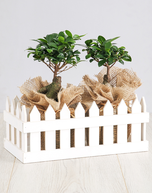 bonsai: Ficus Bonsai Trees in Picket Fence!
