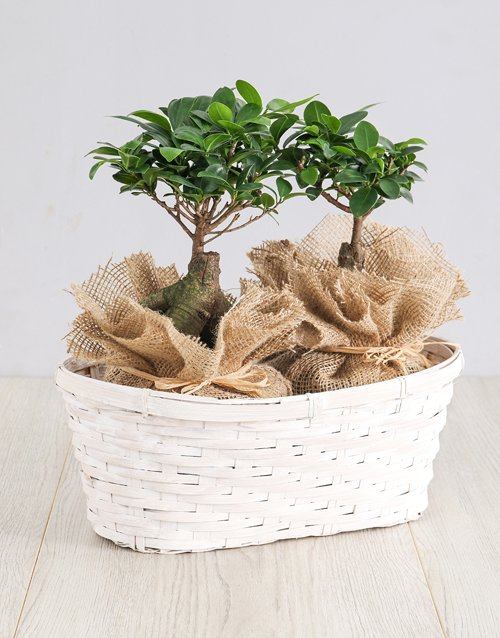 bonsai: Ficus Bonsai Trees in Double Basket!