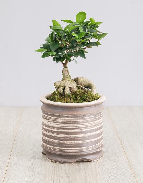 bonsai: Ficus Bonsai Tree in Ceramic Pot!