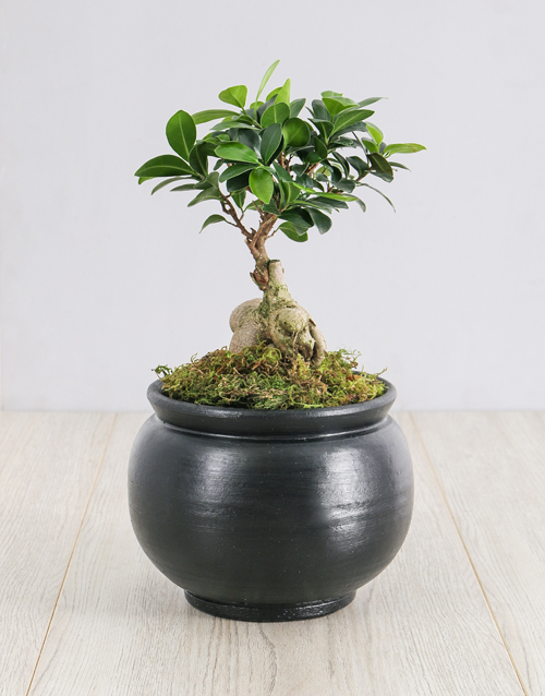 prices: Ficus Bonsai Tree in Black Pottery!