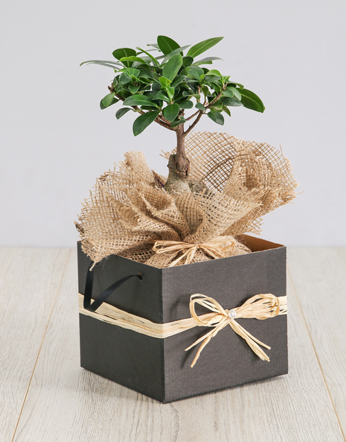 in-a-box: Ficus Bonsai Tree in Box!
