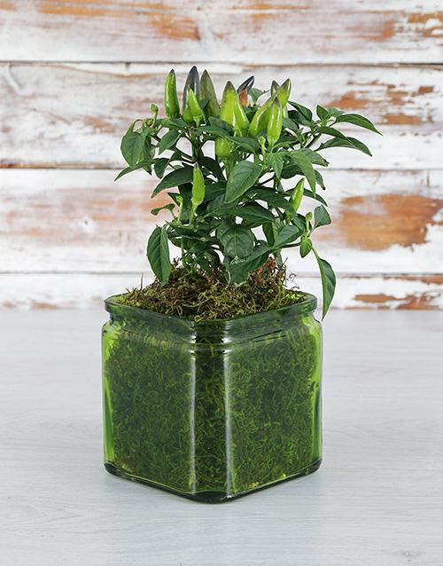 coloured-vases: Chilli Plant in Green Vase!