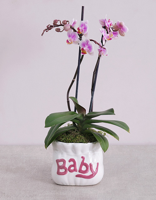 pottery: Midi Phalaenopsis Orchid in Pink Baby Vase!
