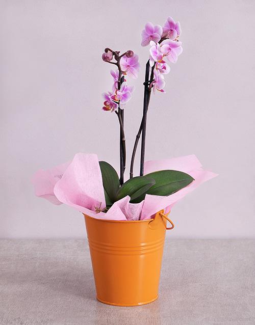 flowering: Midi Phalaenopsis Orchid in Orange Bucket!
