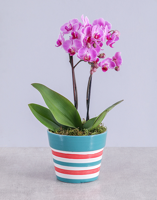 flowering: Midi Pink Orchid in Red Striped Vase!