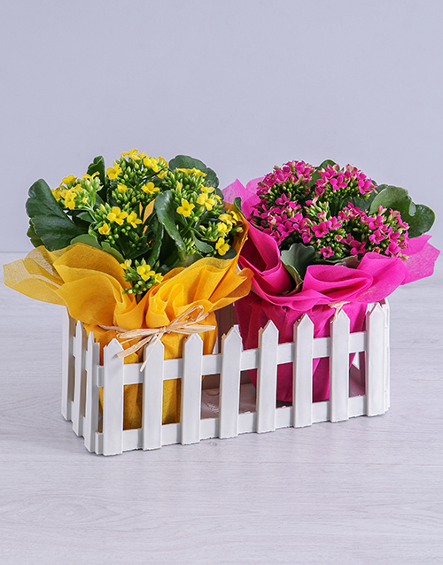 kalanchoe: Cerise and Yellow Kalanchoe Plants in Fence!