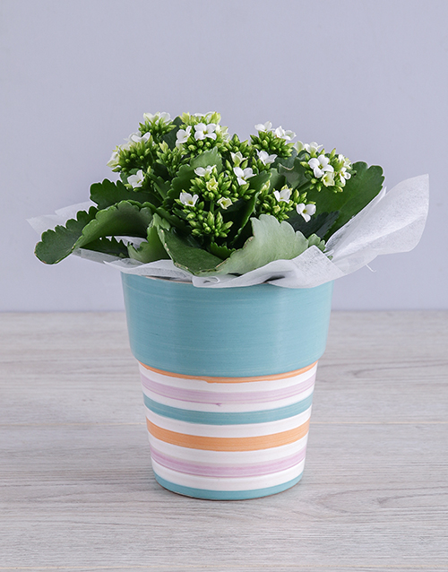 kalanchoe: White Kalanchoe Plant in Striped Ceramic Pot!