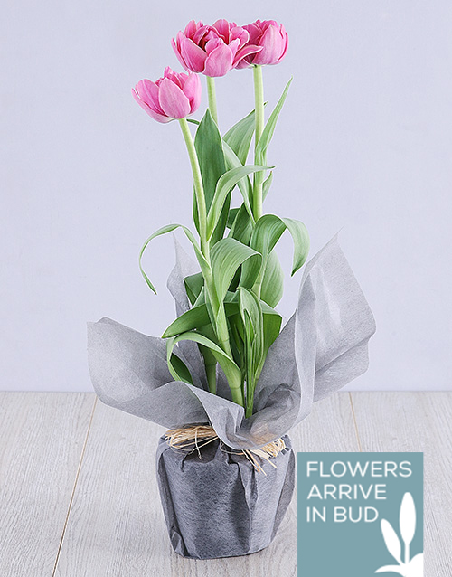 tulips: Purple Tulip Plant in Grey Wrapping!