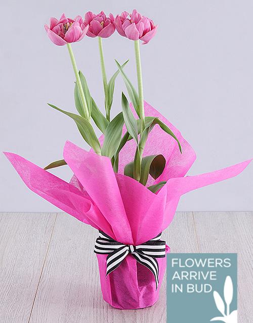 tulips: Purple Tulip Plant in Cerise Tissue Paper!