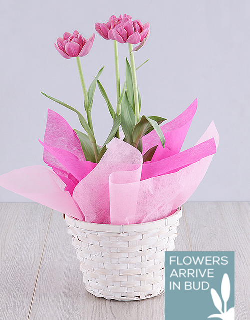 baby: Purple Tulip Plant Basket!