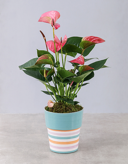 flowering: Pink Anthurium in Striped Pot!