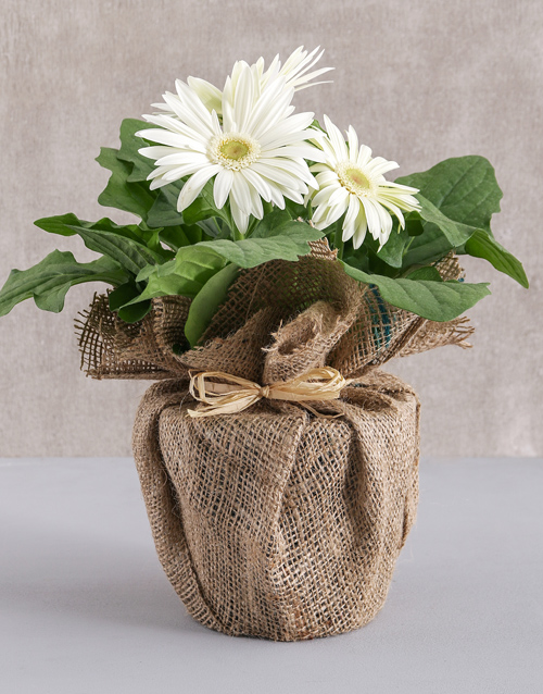 baby: Mini Gerbera Plant in Hessian Wrapping!