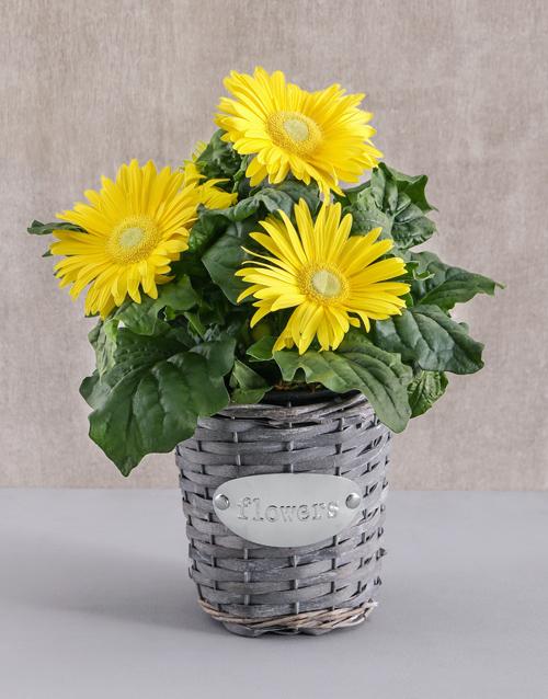 flowering: Mini Gerbera Plant in Flower Basket!