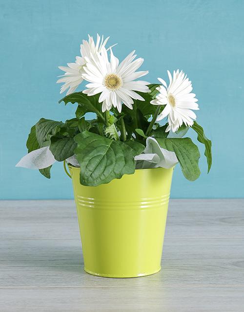 flowering: White Mini Gerbera Plant Bucket!