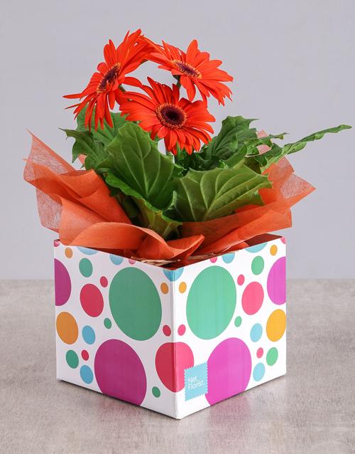 flowering: Orange Mini Gerbera Plant Box!