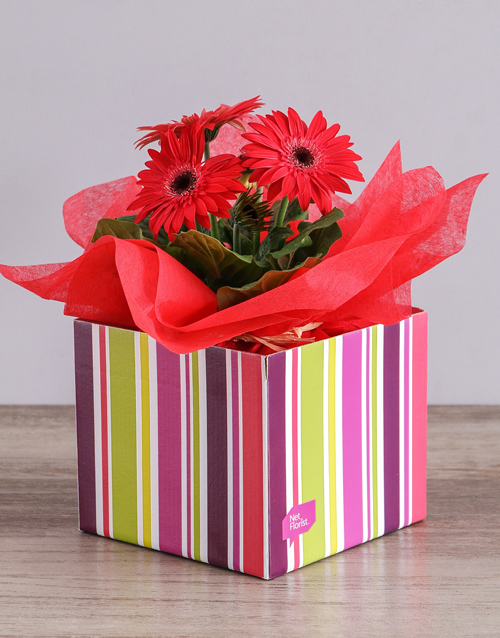 gerbera-daisies: Red Mini Gerbera Plant Box!