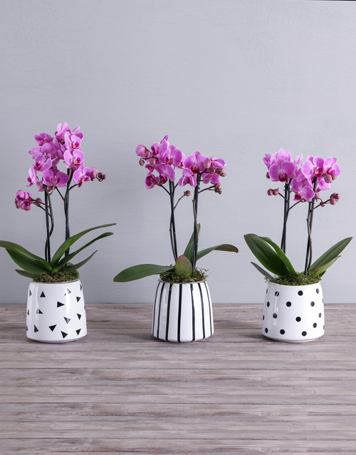colour: Pink Midi Phalaenopsis Orchid Pot!