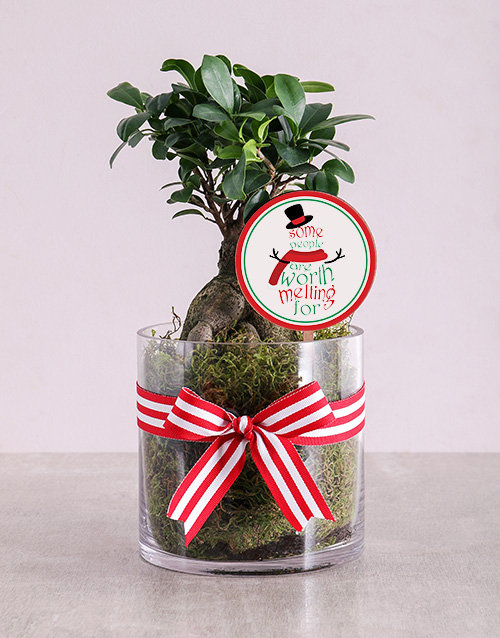 christmas: Ficus Bonsai Tree in Christmas Cylinder Vase!