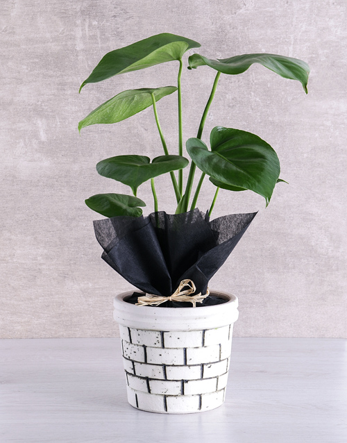 pottery: Monstera Plant in Brick Pot!