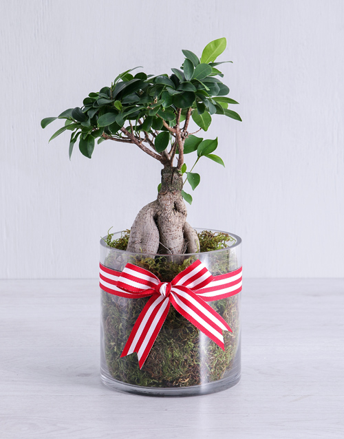 bonsai: Ficus Bonsai Tree in Red Ribbon Cylinder Vase!