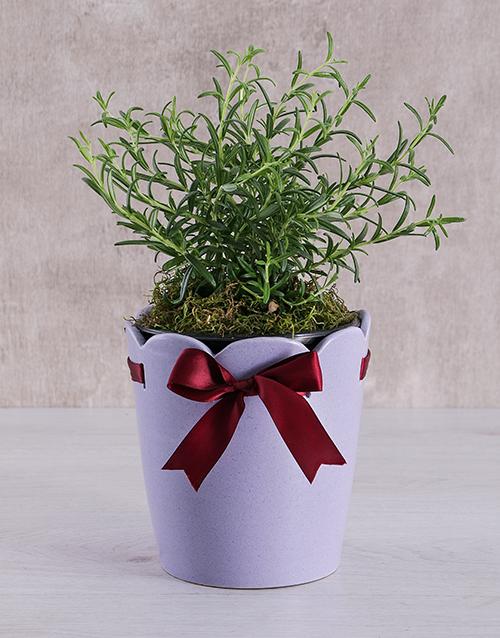 herbs: Rosemary Plant in Ceramic Pot!