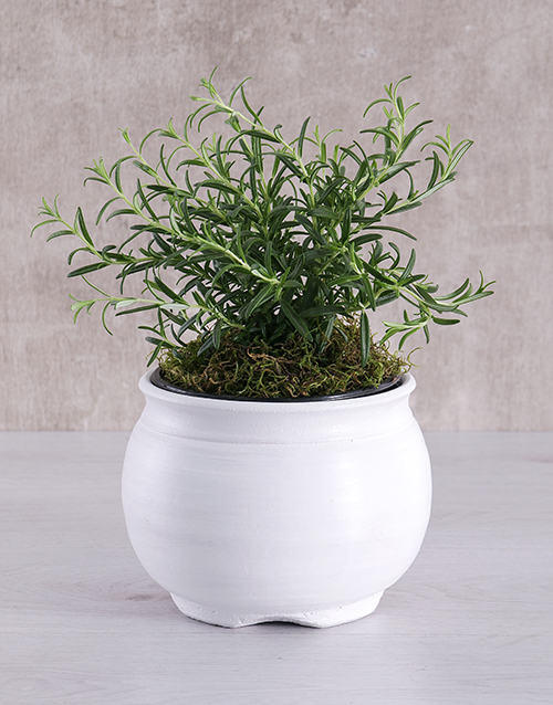 green: Rosemary Plant in White Pottery!