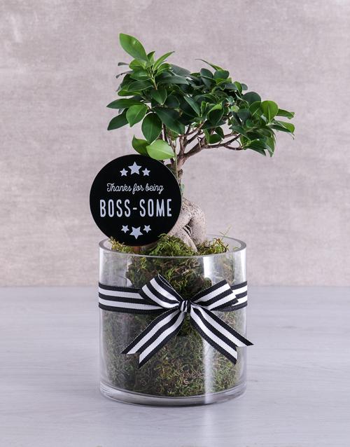 bonsai: Bosses Day Ficus Bonsai Tree !