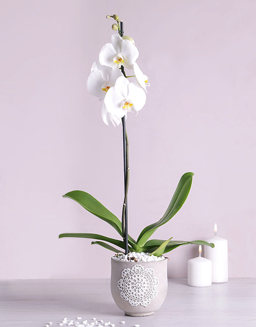 orchids: Phalaenopsis Orchid in Doilie Pot!