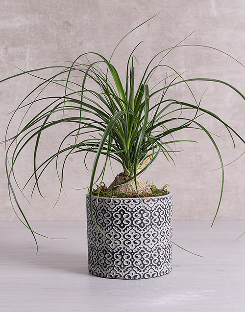whats-new: Beaucarnea in Black Patterned Vase!