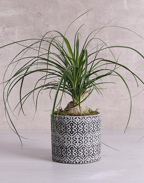 green: Beaucarnea in Black Patterned Vase!
