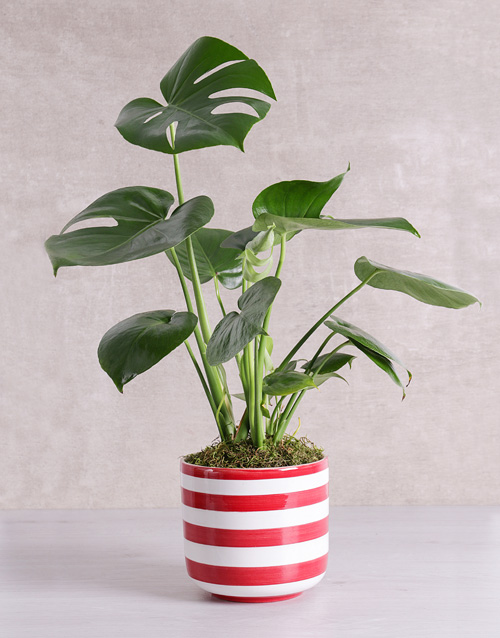 monstera: Monstera Plant in Red Striped Vase!