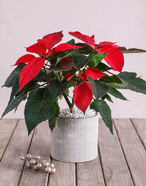 plants: Poinsettia in Cement pot with White Detail!