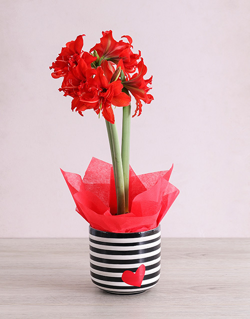 amaryllis: Red Amaryllis Plant in Striped Heart Pot !