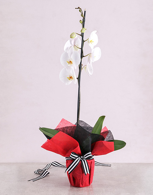 orchids: White Phalaenopsis Orchid Romance!