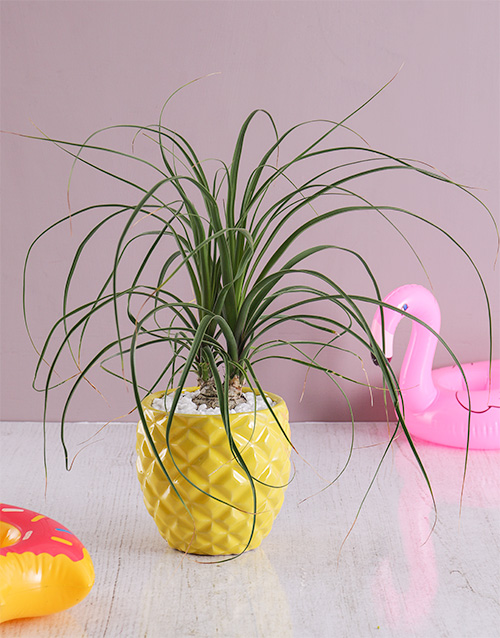 spring-day: Pineapple Pony Tail Palm!