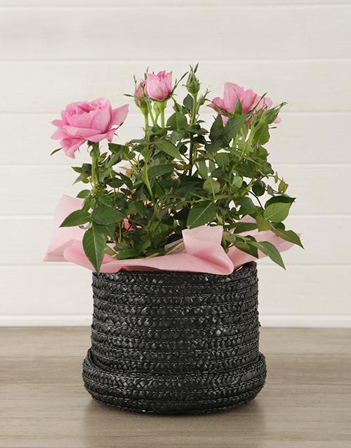 roses: 14cm Rose Bush in Hatbox!