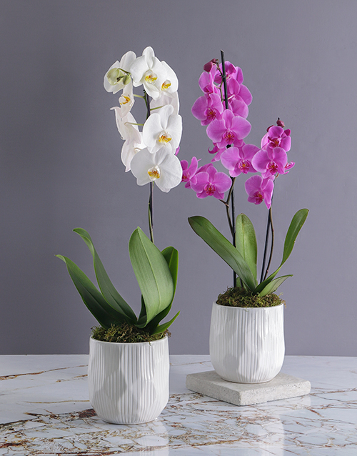 plants: Grand Orchid in White Ceramic Pot!