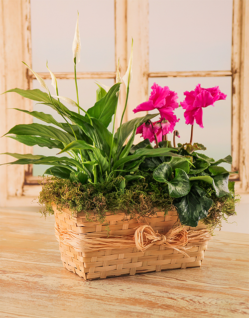 lily: Plant Duo in a Wicker Basket with Raffia!