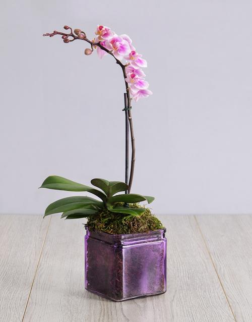 orchids: Mini Orchid in a Square Purple Vase!