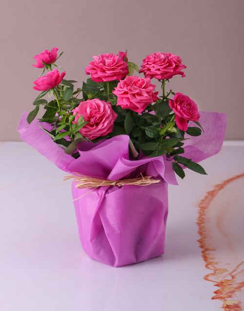 roses: Cerise Rose Bush in Wrapping!