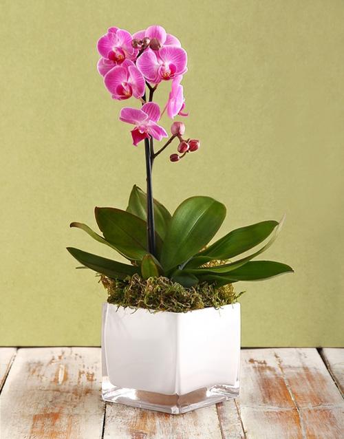 congratulations: Mini Orchid in a White Vase!