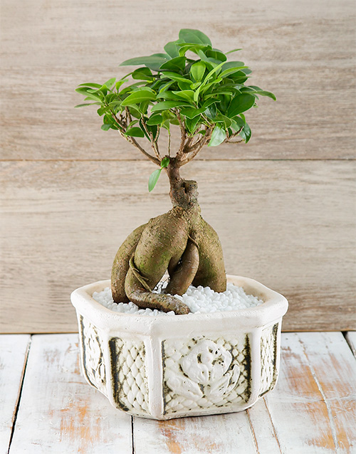 bonsai: Flipping Fantastic Ficus!