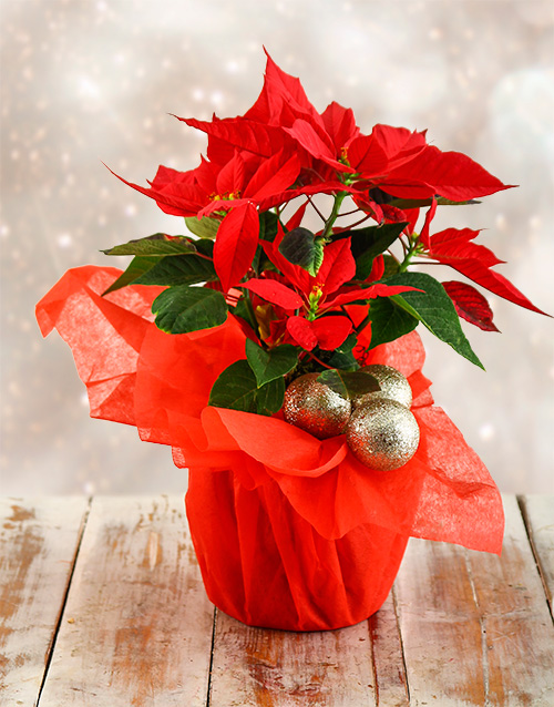 christmas: Festive Season Poinsettia!