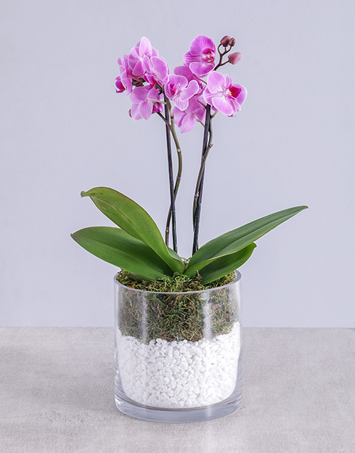 bosses-day: Midi Orchid in Cylinder with Stones!