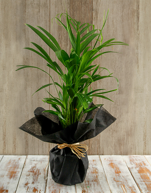 green: Amazing Areca Bamboo Plant!