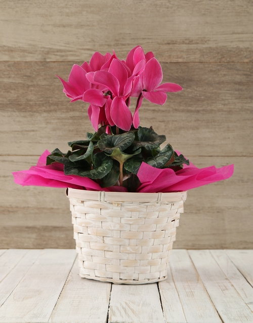 cyclamen: Cerise Cyclamen in a Crysanth Basket!